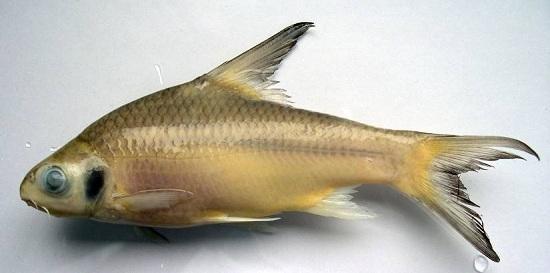 Cá Cầy