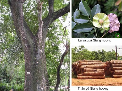 Cây-gỗ-giáng-hương