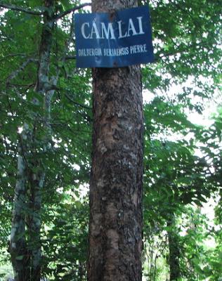 Thân cây Cẩm Lai Bà Rịa